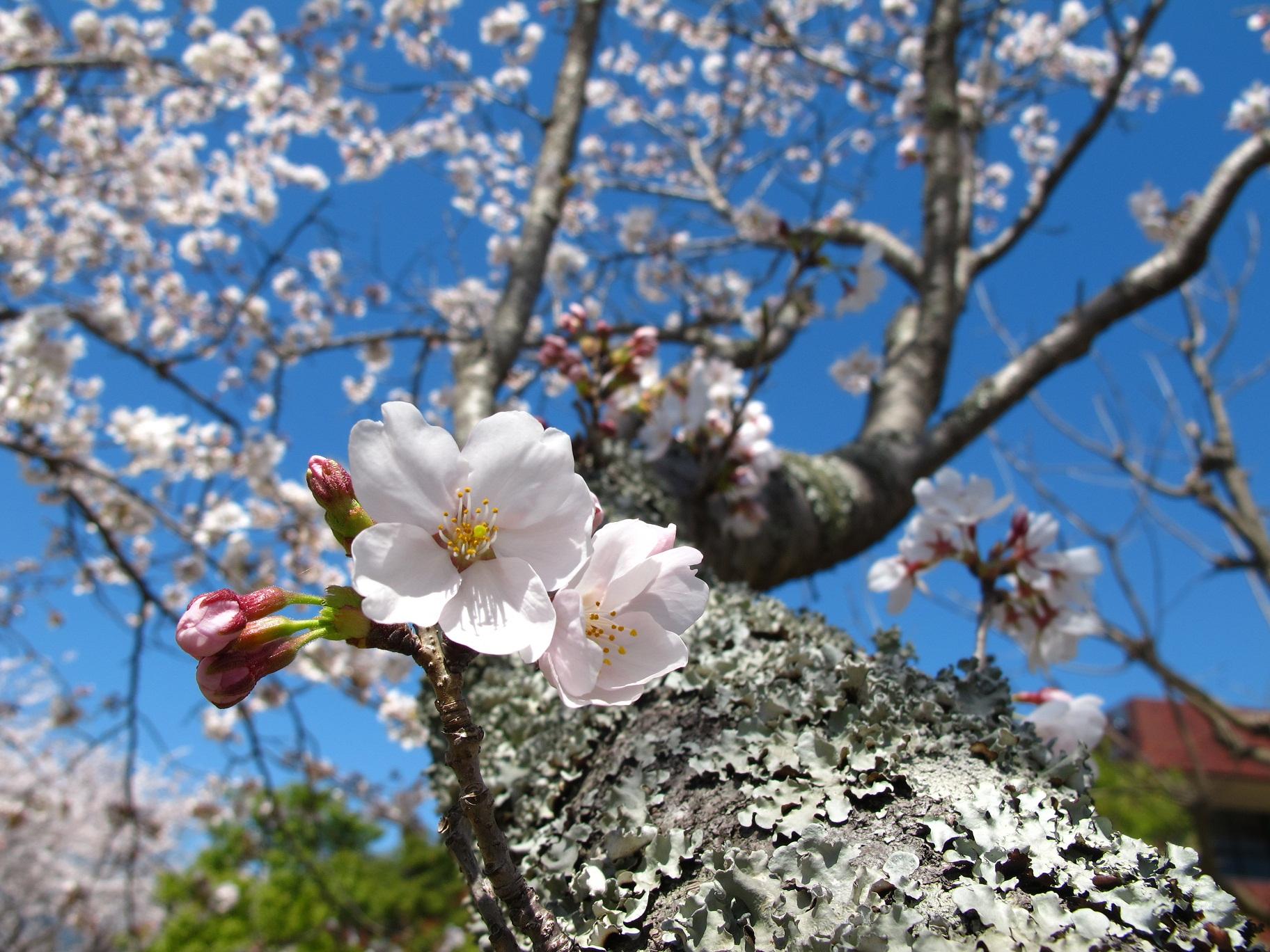 (銅賞)大学会館前の桜(吉田 瀬央)